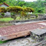 Escale à la Grenade Gouyave une ancienne plantation de cacao
