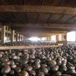 Escale à la Grenade Gouyave usine de noix de muscade