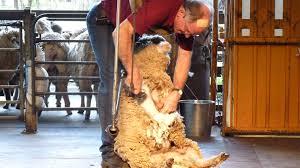 PARC ANIMALIER DE CAVERSHAM spectacle tonte de mouton