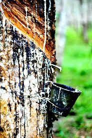 Recolte du latex Langkawi