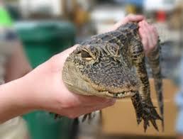 Sawgrass Récréation Park Bébé Alligator