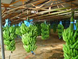 Escale à Puerto Limon - Bananeraie