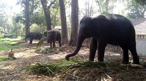 Kodanadu Elephant Training