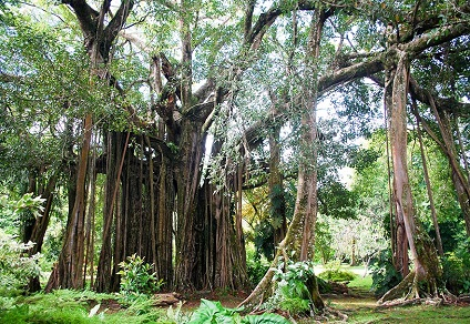 Jardin botanique Harrison Smith à Tahiti