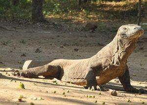 Dragon de Komodo sur l'Île de Komodo en Indonésie