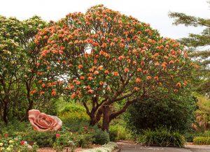 Les jardins botaniques exotiques de Mt Coot-tha à Brisbane en Australie