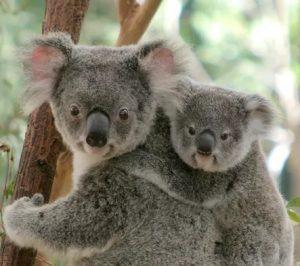 Lone Pine Koala Sanctuary à Brisbane en Australie