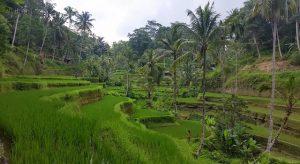 Croisière tour du monde rizières en terrasse de Tegallalang à Bali
