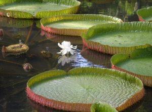 Croisière tour du monde jardin botanique Sir Seewoosagur Ramgoolam Pamplemousse - Ile Maurice